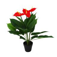 Anthurium w/ Pot 60cmH