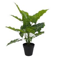Caladium Plant with Pot 45cmH